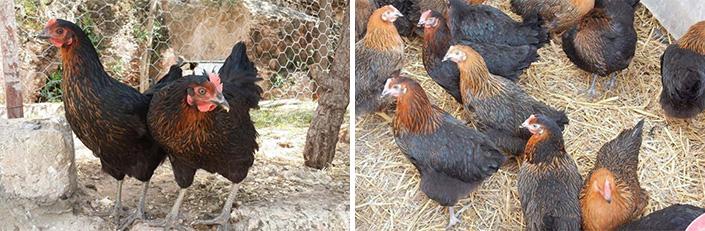 Doğal köy yumurtası üretimine Büyükşehirden destek