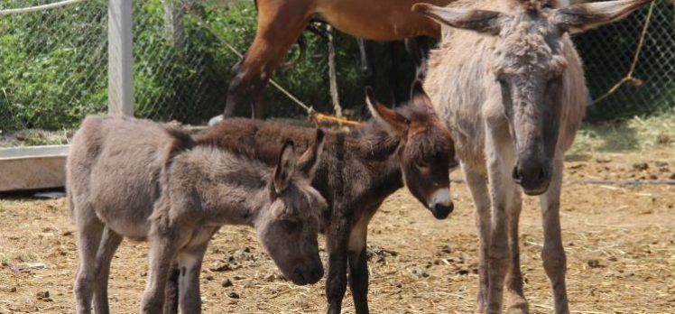 Testereli at ve eşek kasaplarına şok baskın!